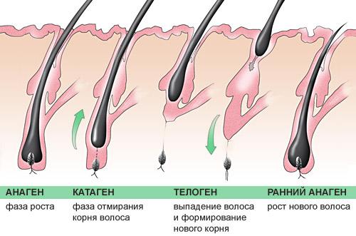 Жизненный цикл волос