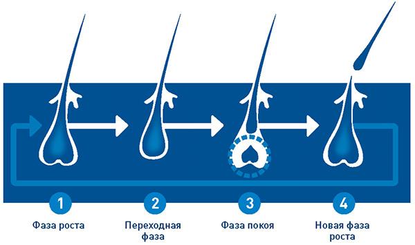 Цикл жизни волосков