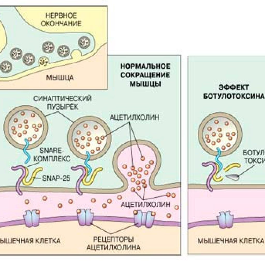 Действие ботулотоксина