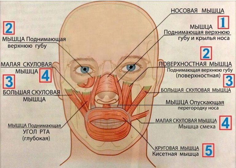 круговая мышца глаза относится к