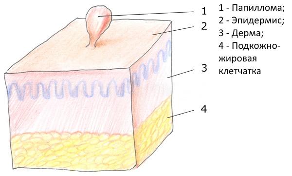 Строение папилломы