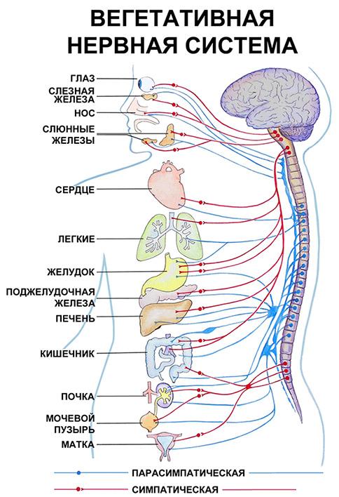 Анатомическое строение нервной системы дополните схему