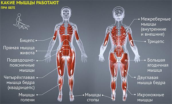 Мышцы, работающие при беге